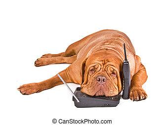 cão, cansadas, de, telefone chama