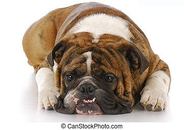 cão, com, dentes dobrados