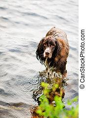cão, em, um, lago