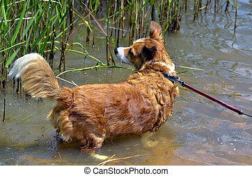 cão, ficar, em, água