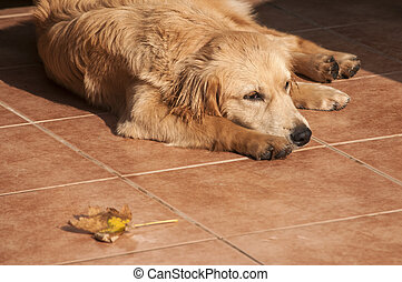 cão, ligado, outono, sol, iluminado, alpendre, chão