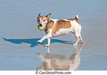 cão, mar, tocando
