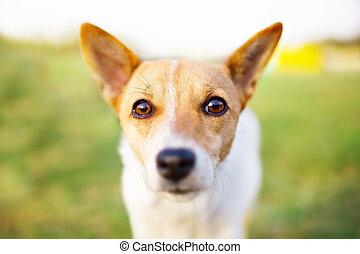 cão, olhos, retrato, closeup