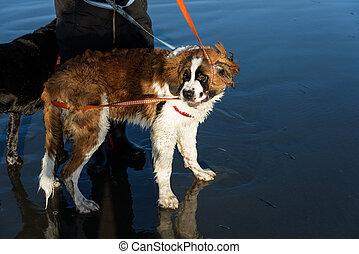 cão, praia