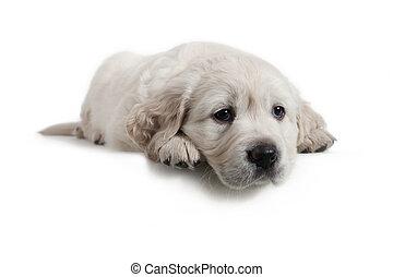 cão, -, retriever dourado, filhote cachorro