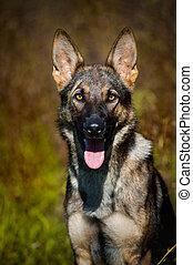 cão, sheepdog, retrato