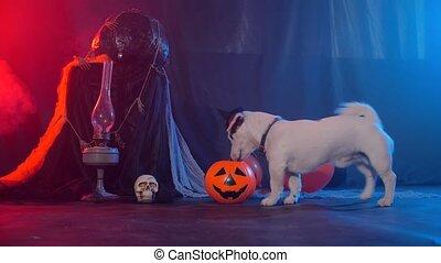 célébration, manger, citrouille, chien, concept., halloween, rigolote