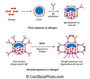 célula, ação, durante, alergia, mastro