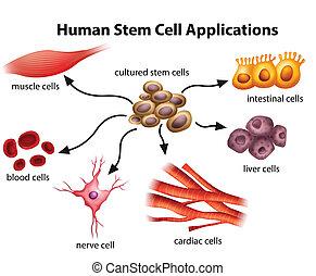célula, aplicações, human, caule