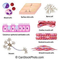 célula, humano, colección