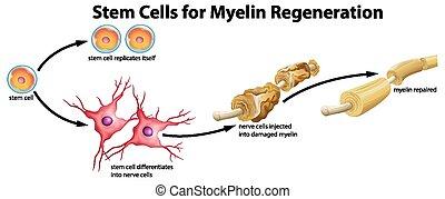 célula, myelin, caule, regeneração
