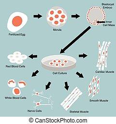 célula, tallo
