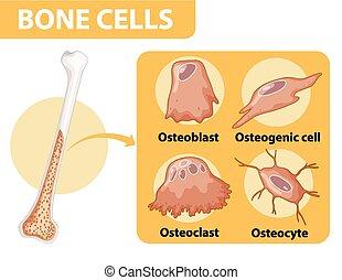 células, anatomía, hueso, humano