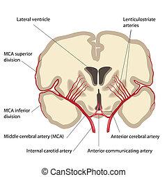 cérébral, milieu, artère, eps8