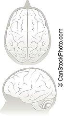 cérebro, cranio