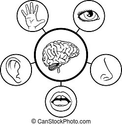 cérebro, e, cinco sentidos