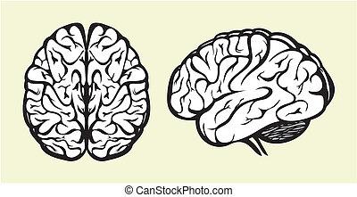 cérebro, human