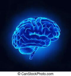 cérebro humano, em, raio x, vista