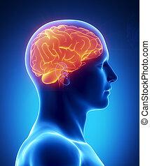 cérebro humano, glowing, vista lateral