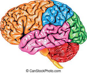 cérebro humano, vista lateral