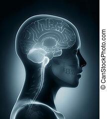 cérebro, médico, femininas, raio x, varredura