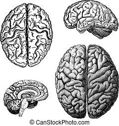 cérebros, vetorial