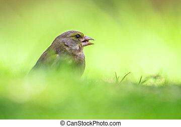 césped, macho, greenfinch