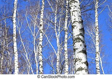 céu azul, árvores, vidoeiro