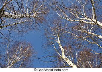 céu azul, março, vidoeiros