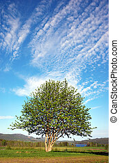 céu azul, rowan, árvore