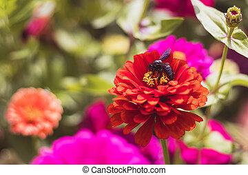 cínie, květiny, detail, včela, květ, názor, zahrada, tesař, karafiát, červeň