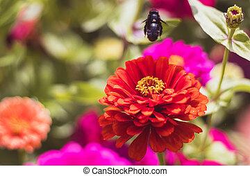 cínie, květiny, detail, včela, květ, názor, zahrada, tesař, ...