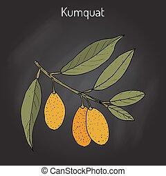 cítrico, kumquat, ramo, japonica
