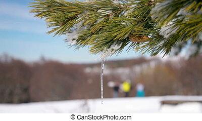cône, hiver, pin, neige