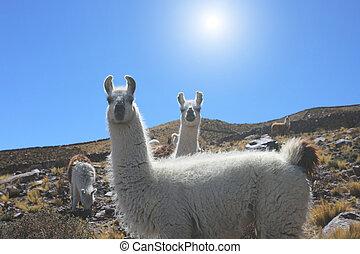 CÙte, Aparat fotograficzny, dwa, patrząc, lama, biały