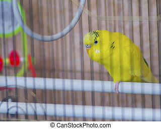 CÙte, Käfig, gelber, papagai