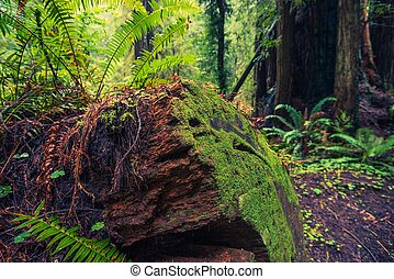 caído, árbol, secoya