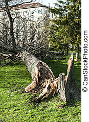caído, árvore grande, após, tempestade