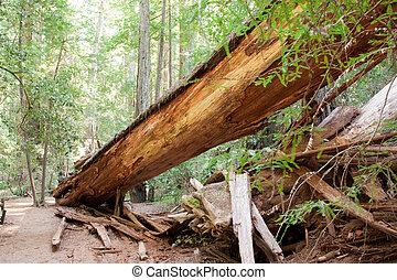 caído, árvore redwood