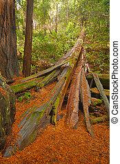 caído, árvore redwood, ligado, chão