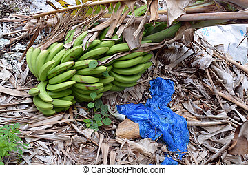 caído, bananas