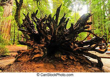 caído, califórnia, árvore sequoia