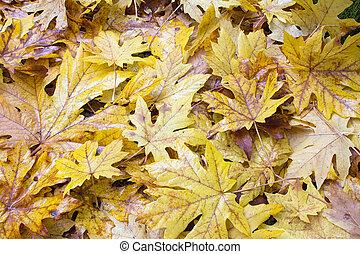 caído, molhados, gigante, árvore maple, folhas, fundo