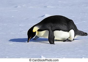caído, nariz, pingüino