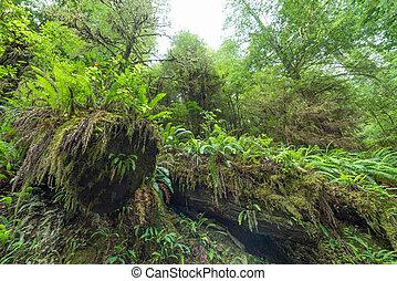 caído, redwood, árvores, coberto, em, musgo