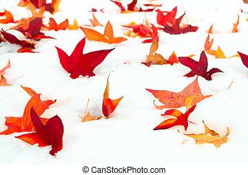 caído, sweetgum, folhas, em, a, neve
