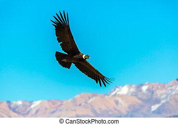 cañón, esto, tierra, sur, encima, colca, cóndor, más grande, pájaro, perú, america., vuelo