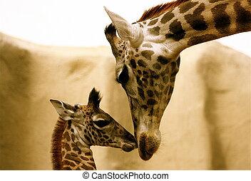 całowanie, żyrafy