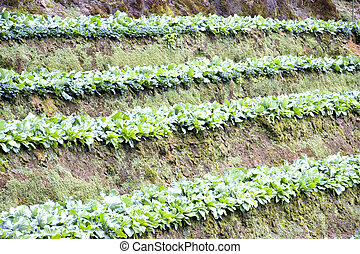 Cabage Farm - Image of terraced cabbage farming in Malaysia.
