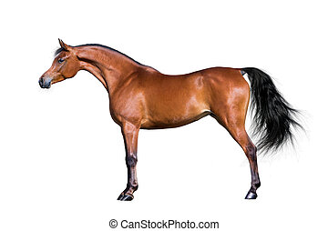 caballo árabe, aislado, blanco